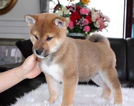 柴犬 (2).jpg