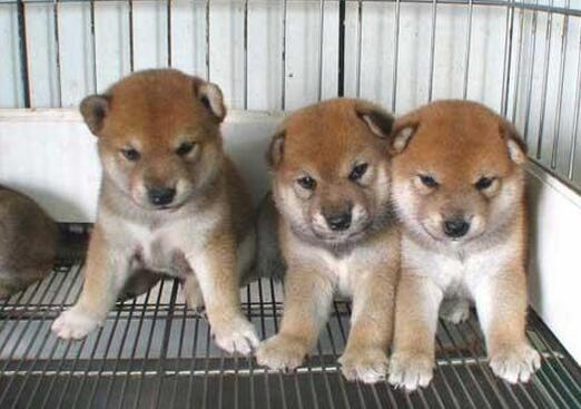 柴犬 (4).jpg
