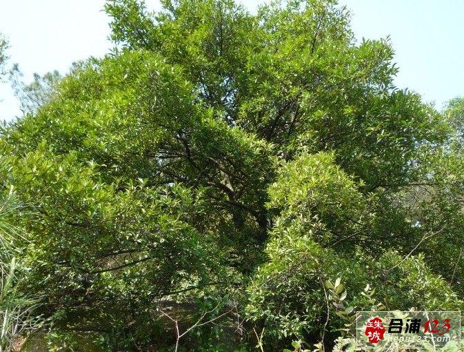 罗芒树.jpg